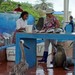 Pelikane und Seelöwen warten am kleinen Fischmarkt in Puerto Ayora darauf, das auch für sie etwas abfällt