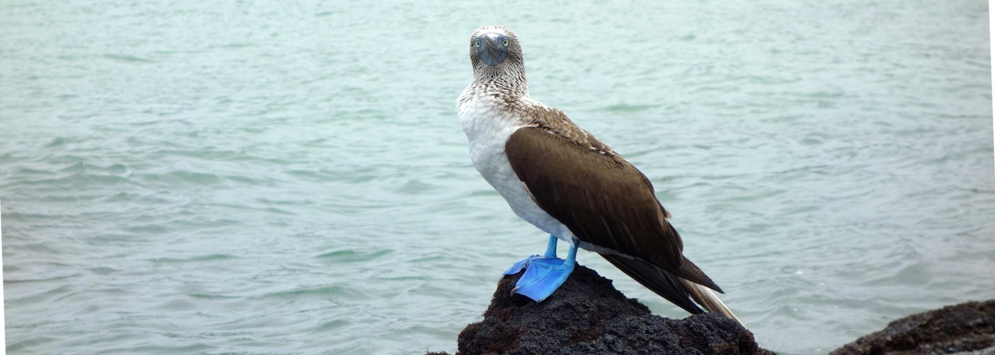 Galápagos, Santa Isabela: Der Bluefooted Boobie (Blaufußtölpel), einer der berühmtesten Einwohner der Galápagos-Inseln