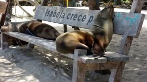 Galápagos, Santa Isabela, Puerto Villamil: Auch hier Seelöwen wohin das Auge blickt