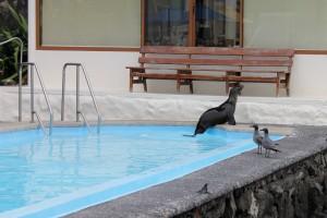 Santa Cruz, Auch Seelöwen nutzen den Swimmingpool vom Hotel zum Abfrischen