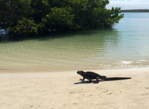 Santa Cruz, Tortuga Bay, Iguana am Badestrand