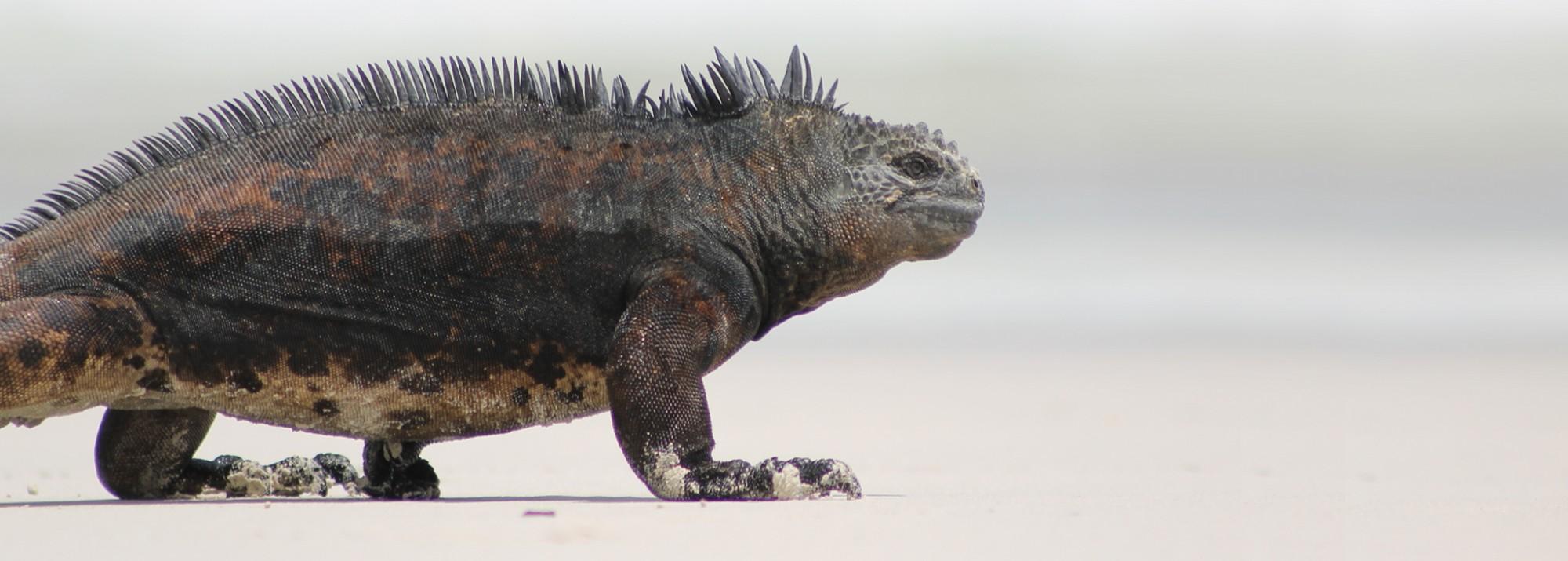 Galápagos, Isla San Cristobal, Tijeretas: Schwimmen mit einem Urzeit-Reptil, dem Marine Iguana
