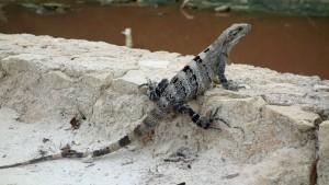 Mexico, Isla Holbox: Mexikanischer Iguana