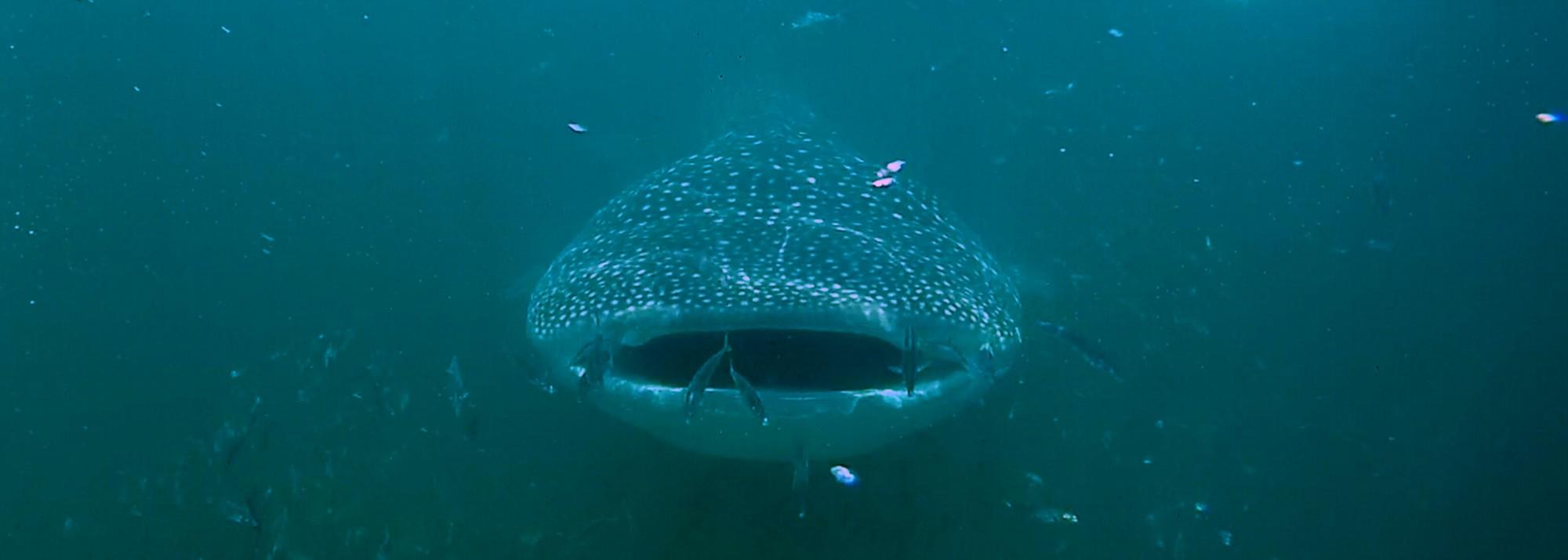 Mexiko, Isla Holbox: Schwimmen mit den Walhaien