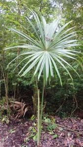 Guatemala, Tikal: Diese Palme nahm sich für ihr Aussehen die Sonne als Vorbild