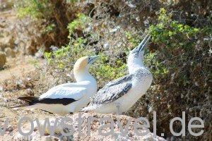 Cape Kidnapper: Gannet Elternvogel mit Jungtier